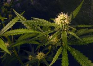 Jacksonville Marijuana Lawyer